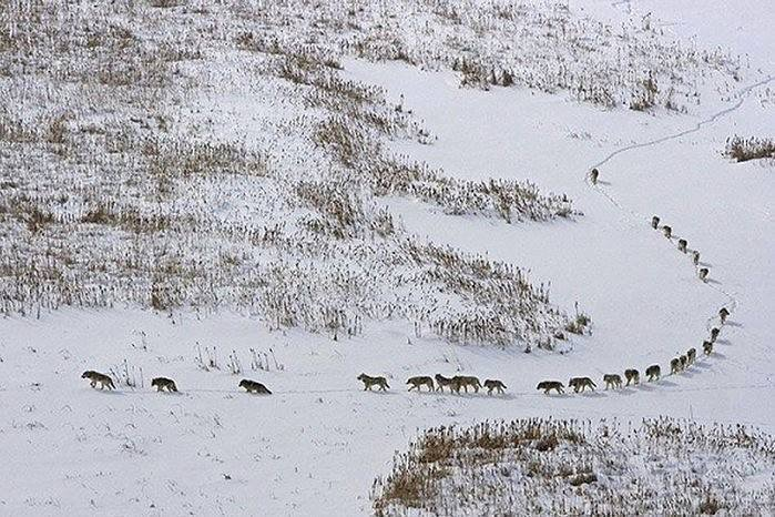 Ne féljünk, tanuljunk a farkasoktól!