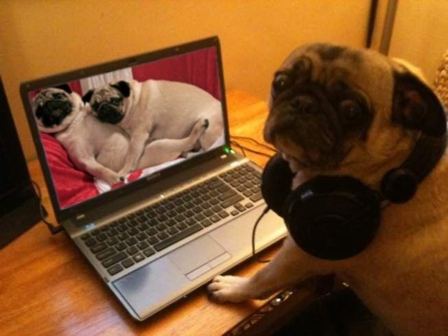 pug_watching_porn.jpg
