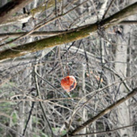 Gyümölcsfaápolás télen