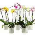 A könnyen tartható lepkeorchidea