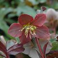 7 évelő növény, ami elhozza a tavaszt a kertbe