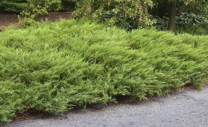 juniperus-communis.jpg