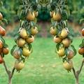 Könnyű vagy nehéz gyümölcsöt nevelni?