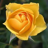 Sárga virágok augusztusra!