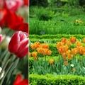 Tavasszal virágzó hagymások ültetése