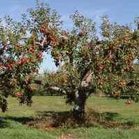 Gyümölcsfaültetés alapok