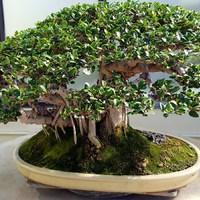 Pár mondat a bonsai fákról