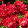 A rózsa jótékony hatásai