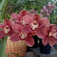 Csónakorchideák őszi tartása