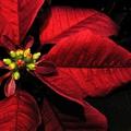 A növények tapló télapója
