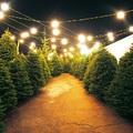 Karácsonyfaszezon: mindent a vágott fenyőkről