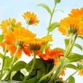 Miért ültessünk körömvirágot?