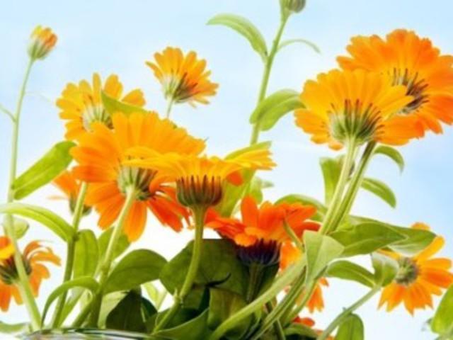 hogyan kell körömvirágot látni)