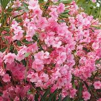A leander betegségei és növényvédelmi feladatai