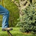 Dézsás karácsonyfák kerti élete