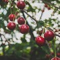 Hogyan ültessek gyümölcsfát?