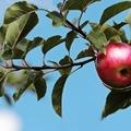 Gyümölcs lexikon - Hogyan válasszak gyümölcsfát?