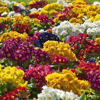 Tavaszvég + színes virág = kankalin!