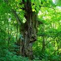 Az öreg Hárs az Európai Év Fája!