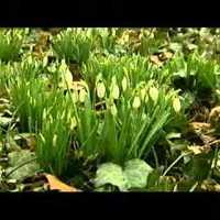 Tavaszi hagymások premierje
