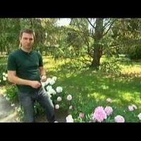 A pünkösdi rózsa