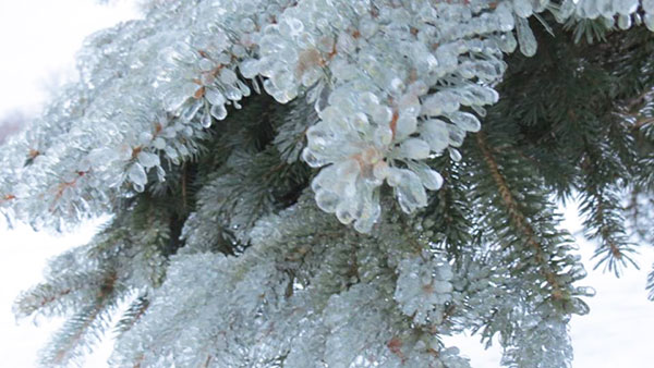 ice-pine-trees-mindy-abbott.jpg
