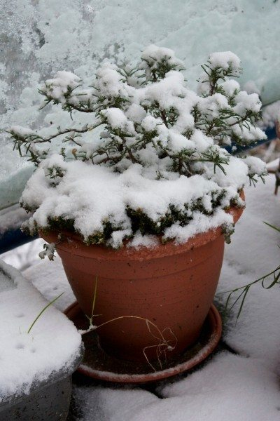 snow-covered-rosemary-400x600.jpg