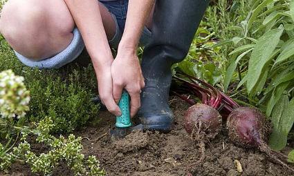 woman_harvesting_fresh_beetroot_from_garden_17761.jpg