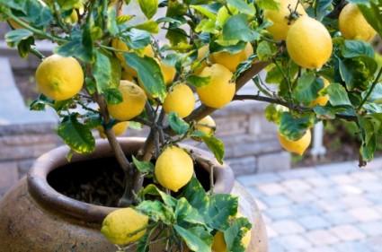 citromfauj2.jpg