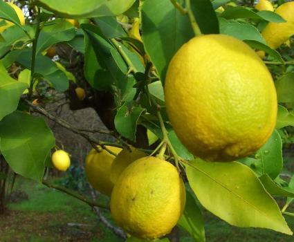 749_citrus_limon_citromfa_l.jpg