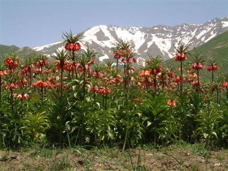 fritillaria-imperialis-native.jpg