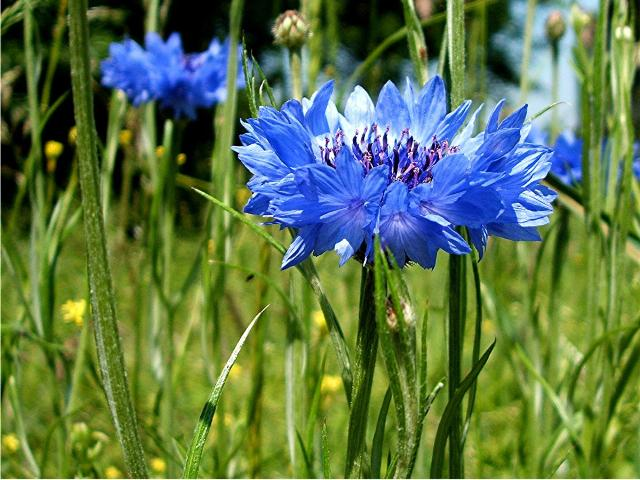 cornflower_centaurea_cyanus_waste_ground_near_granitethorpe_garages_sapcote_sp_4928_9347_taken_5_6_2007.JPG