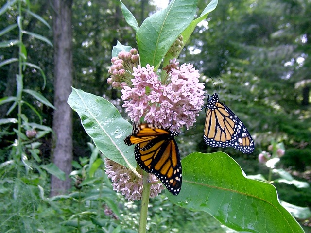monarchs_jpg.jpeg