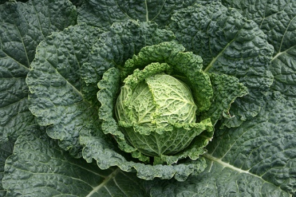 Guide-to-Growing-Cabbages1.jpg