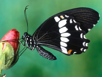 Flowers-Papilio-Polytes-Butterfly-1-TSYMTLGOC8-1600x1200.jpg