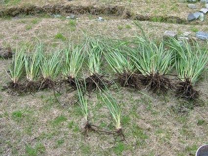 francescaple-pampasgrass2.jpg