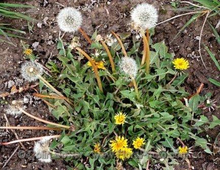 Taraxacum officinale 23, Orange, NSW - processed.jpg