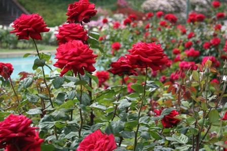 big-red-roses.jpg
