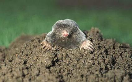 mole_1417618c.jpg