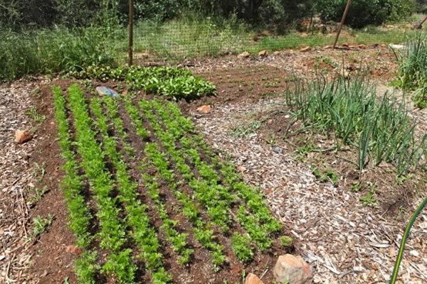 bio-intensive-garden-5-2-2013-carrots-beets.jpg