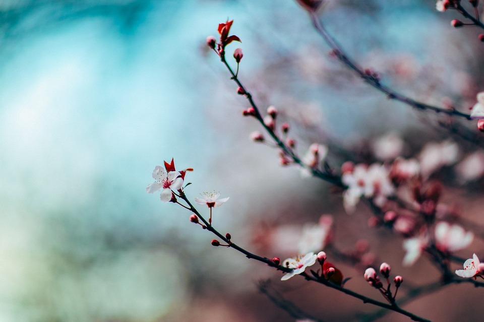 cherry-blossom-1209577_960_720.jpg