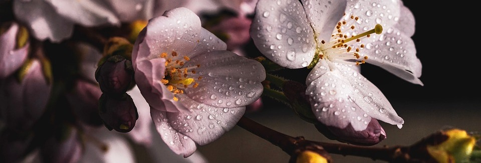 cherry-blossoms-4077043_960_720.jpg