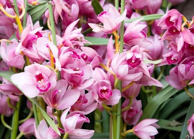 cymbidium-orchid-flower_1373-127.jpg