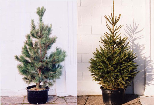 pottedxmastree.jpg