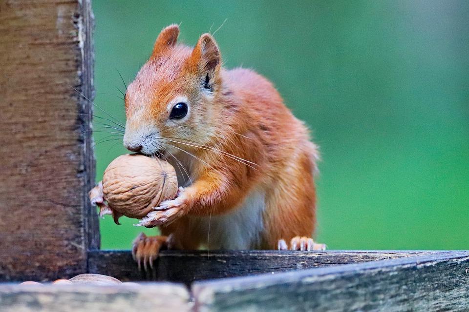 squirrel-5540831_960_720.jpg