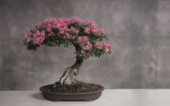 cherry-blossom-bonsai-tree.jpg