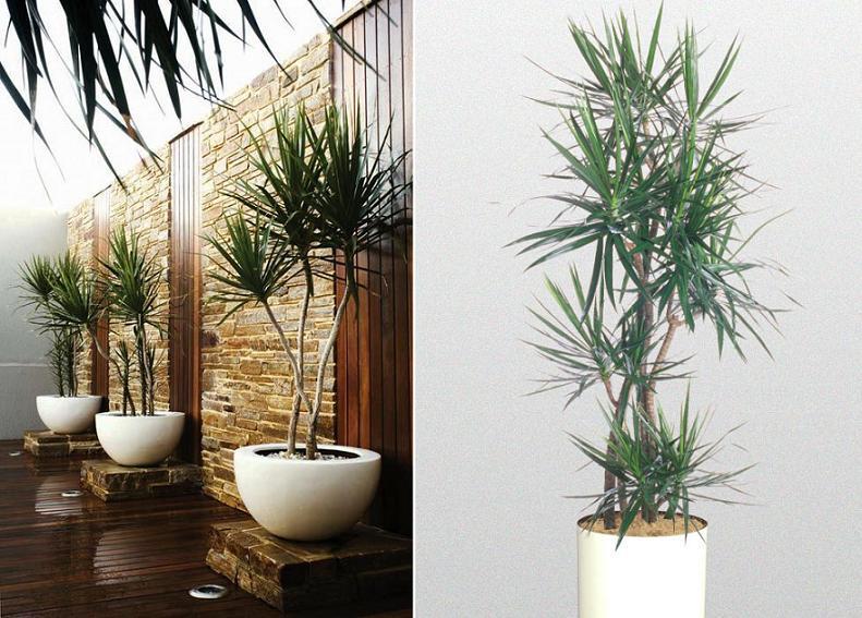 dracaena-marginata-home-indoor-side.jpg