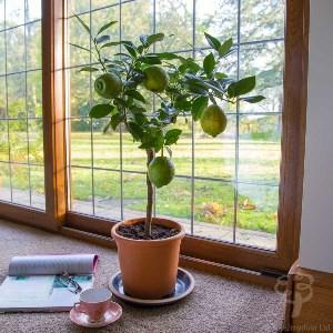 red-lemon-tree-gift_2.jpg