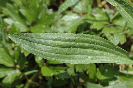 Plantago.lanceolata4.jpg