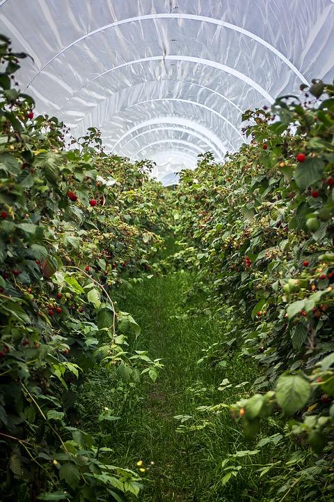 raspberries-2878955_960_720.jpg